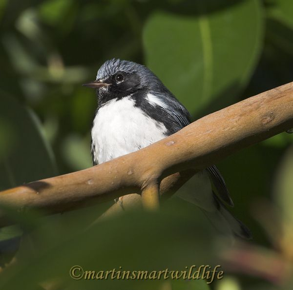 Black-throated_Blue_Warbler_0794x.jpg