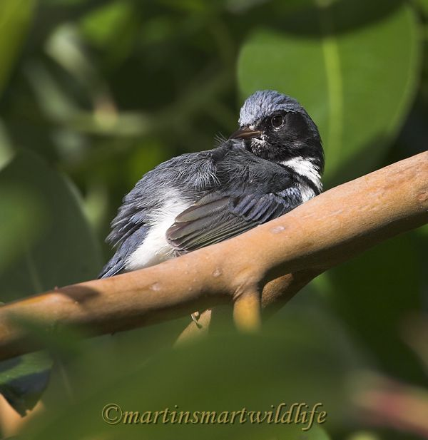 Black-throated_Blue_Warbler_0808x.jpg
