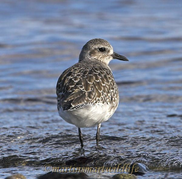 Black_Bellied_Plover_0834x.jpg