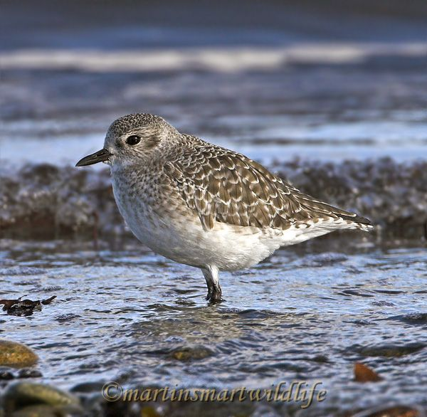 Black_Bellied_Plover_0838x.jpg