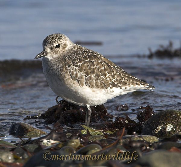 Black_Bellied_Plover_0841x.jpg