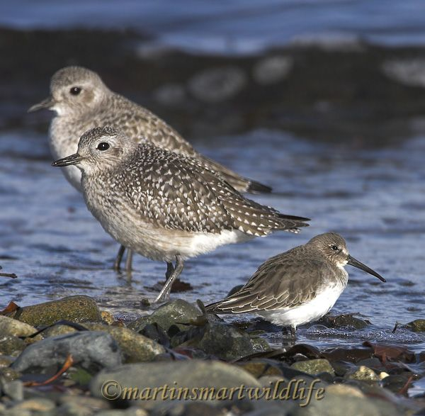 Black_Bellied_Plover_0855x.jpg