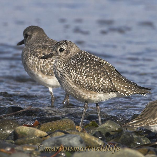 Black_Bellied_Plover_0857x.jpg