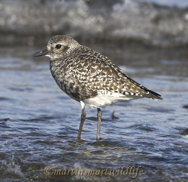Black_Bellied_Plover_0864x.jpg