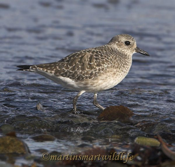Black_Bellied_Plover_0869x.jpg