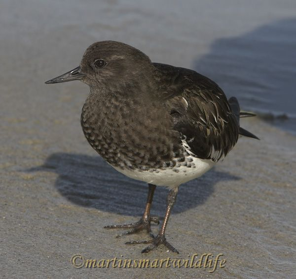 Black_Turnstone_1963x.jpg