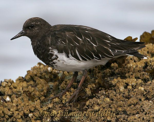 Black_Turnstone_9296x.jpg
