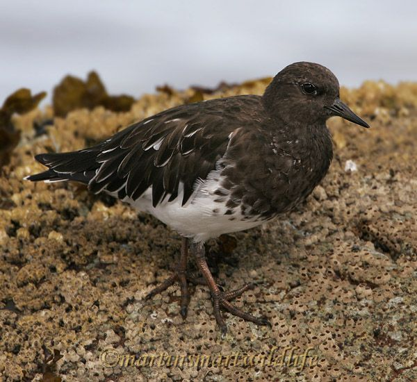 Black_Turnstone_9301x.jpg