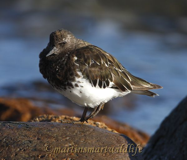 Black_Turnstone_9343.jpg