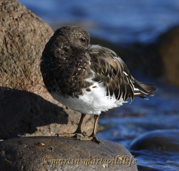 Black_Turnstone_9344.jpg