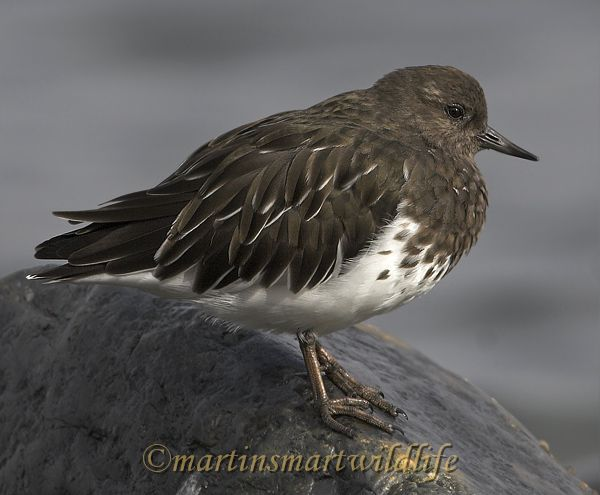 Black_Turnstone_9998x.jpg