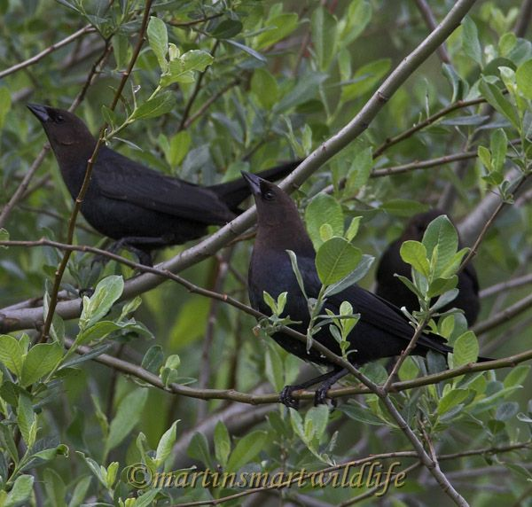 Brown-headed_Cowbird_6102ax.jpg