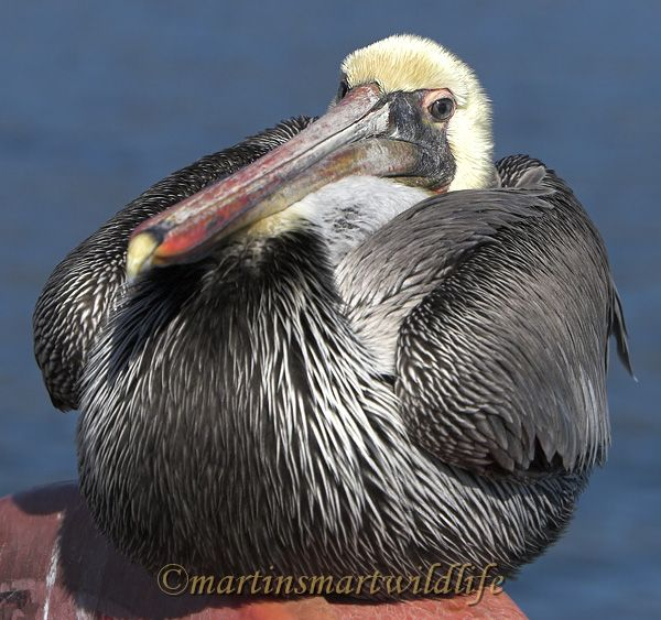 Brown_Pelican_1622x.jpg