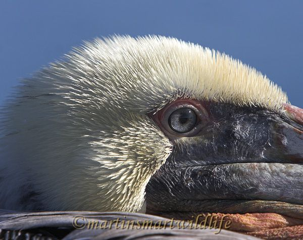 Brown_Pelican_1627ax.jpg