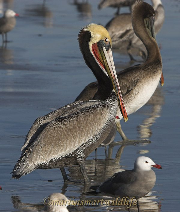 Brown_Pelican_1695x.jpg