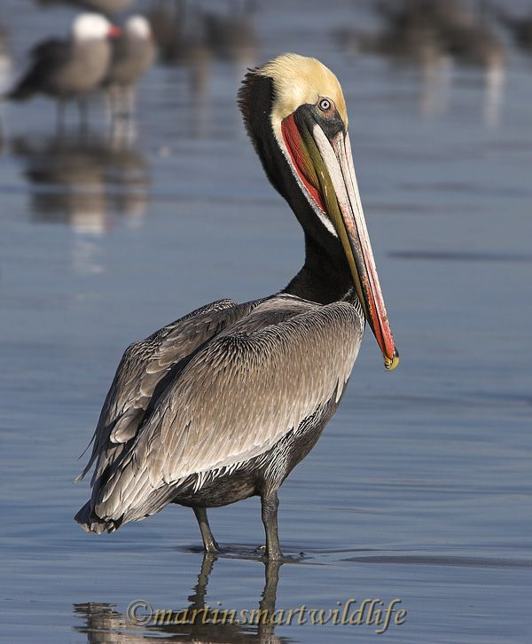Brown_Pelican_1702x.jpg