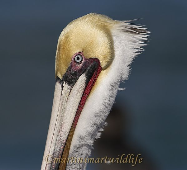 Brown_Pelican_1775x.jpg