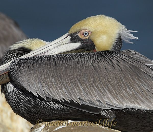 Brown_Pelican_1777x.jpg