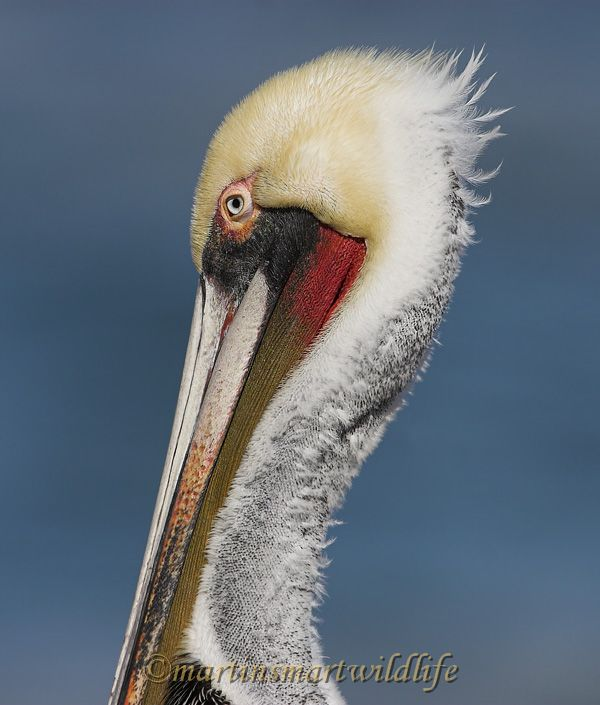 Brown_Pelican_1783x.jpg