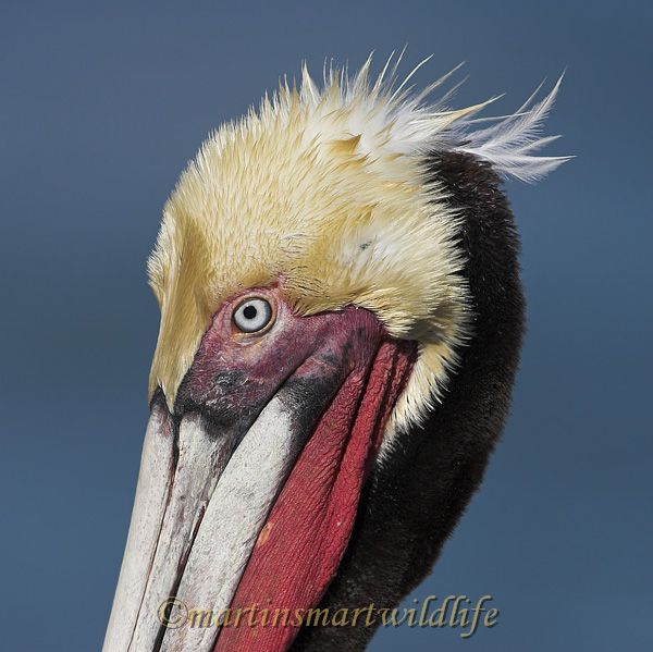 Brown_Pelican_1787x.jpg