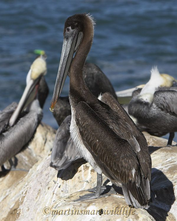 Brown_Pelican_1840x.jpg