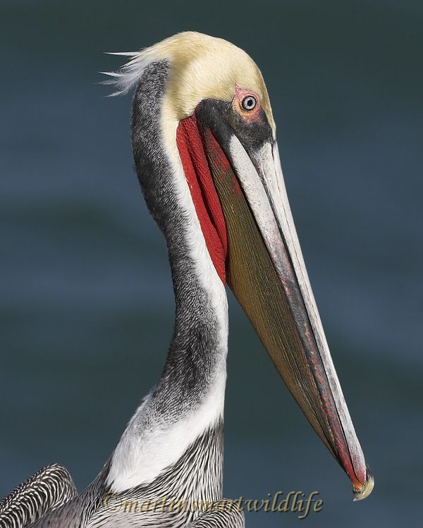 Brown_Pelican_1849x.jpg