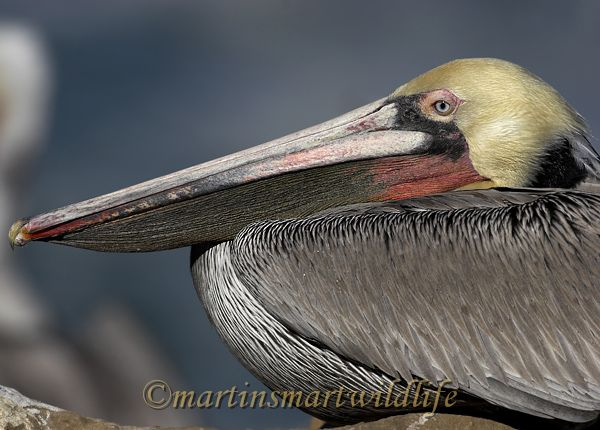 Brown_Pelican_1851x.jpg