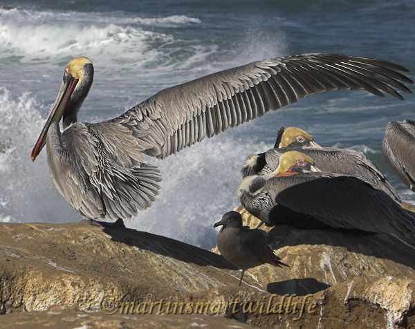 Brown_Pelican_1861ax.jpg