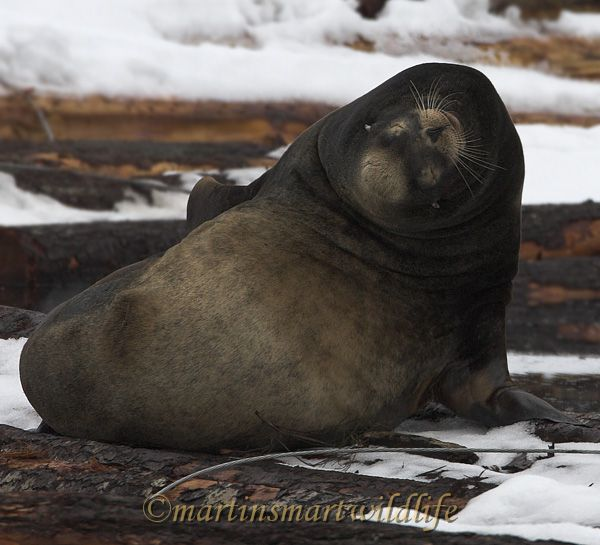 California_Sea-Lion_1215x.jpg