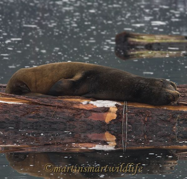 California_Sea-Lion_1240x.jpg