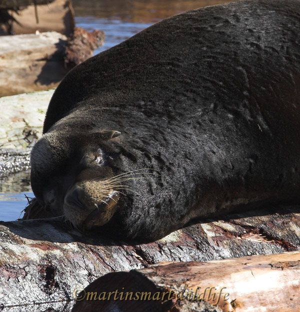 California_Sea-Lion_2500ax.jpg