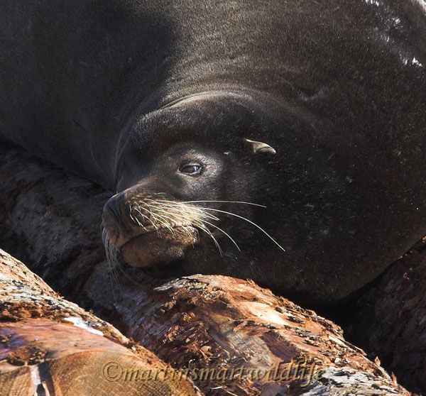 California_Sea-Lion_2503x.jpg