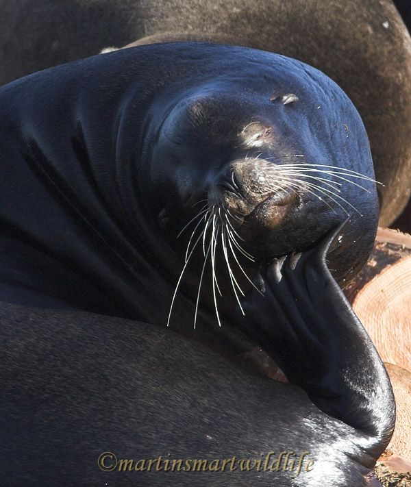 California_Sea-Lion_2519ax.jpg