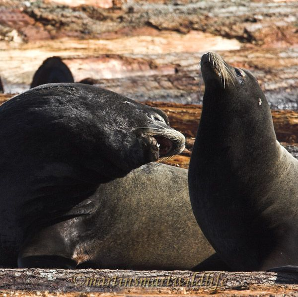 California_Sea-Lion_2530ax.jpg