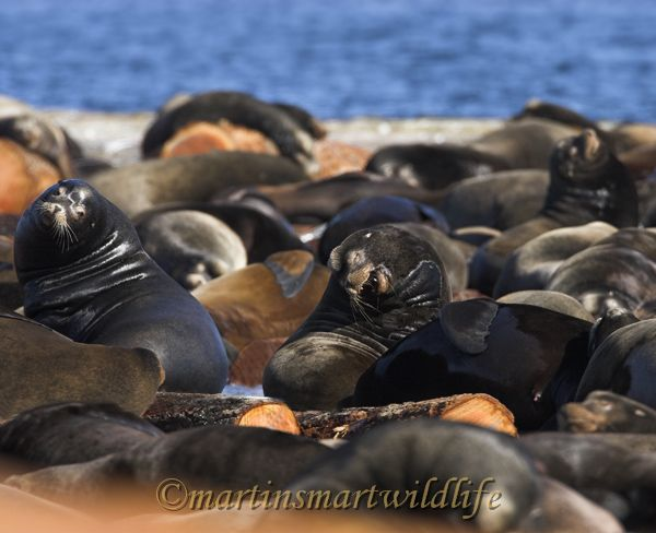 California_Sea-Lion_2608x.jpg