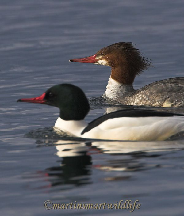 Common_Merganser_2375x.jpg