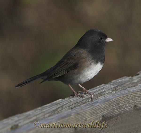 Dark-eyed_Junco_2402x.jpg