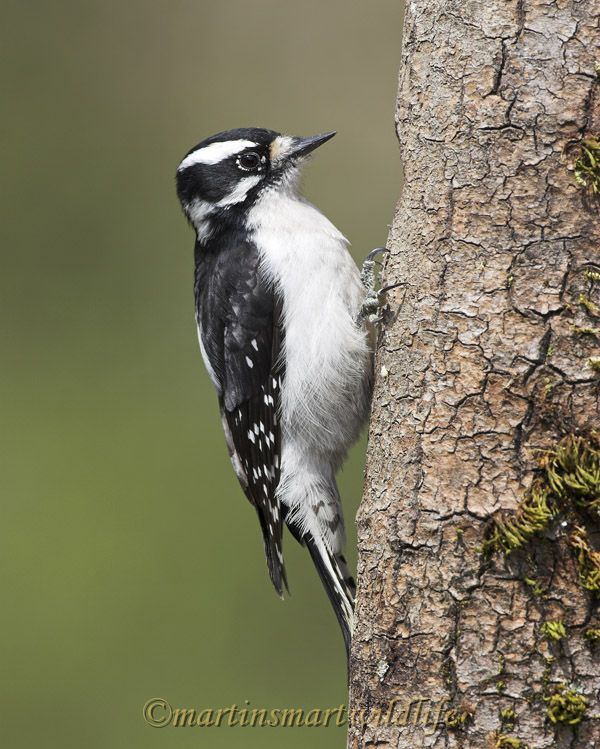 Downy_Woodpecker_4236x.jpg