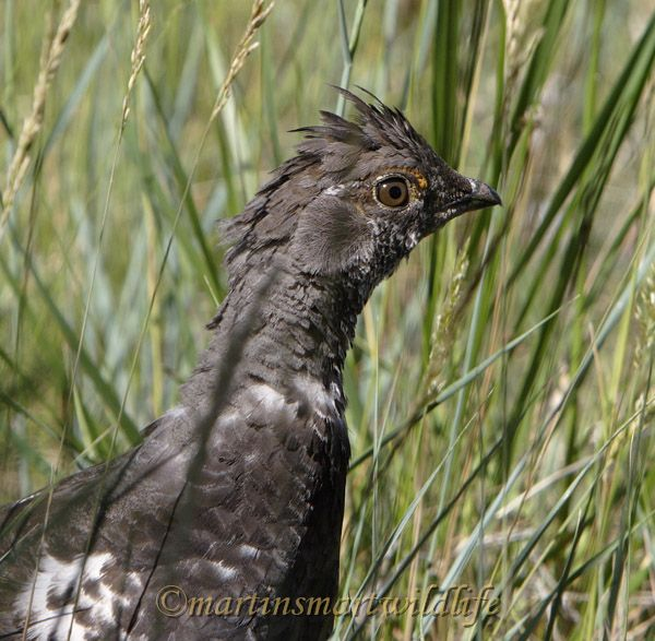 Dusky_Grouse7570x.jpg