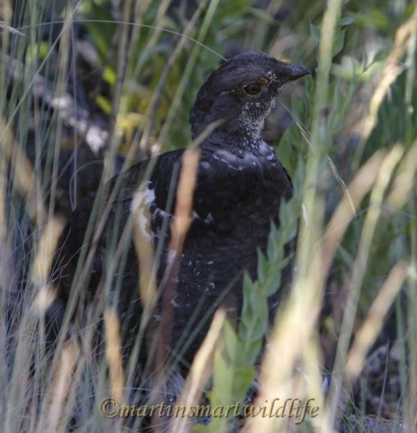 Dusky_Grouse_7547x.jpg