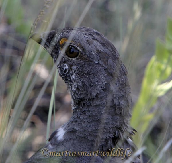 Dusky_Grouse_7552.jpg