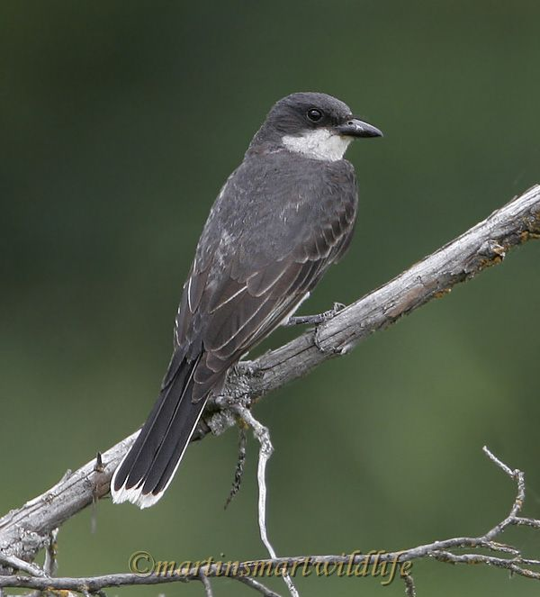 Eastern_Kingbird_7081x.jpg