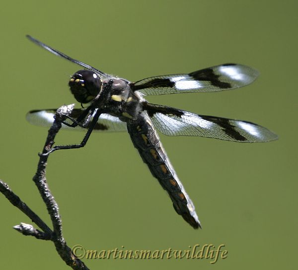 Eight-spotted_Skimmer_6383x.jpg