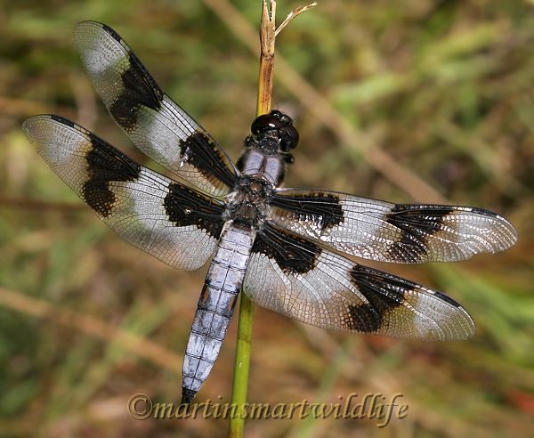 Eight_Spotted_Skimmer_8600x.jpg