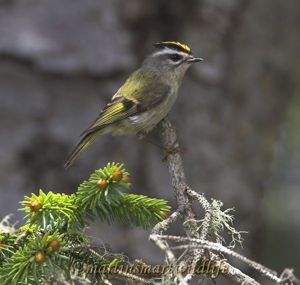Golden-crowned_Kinglet_5712x.jpg