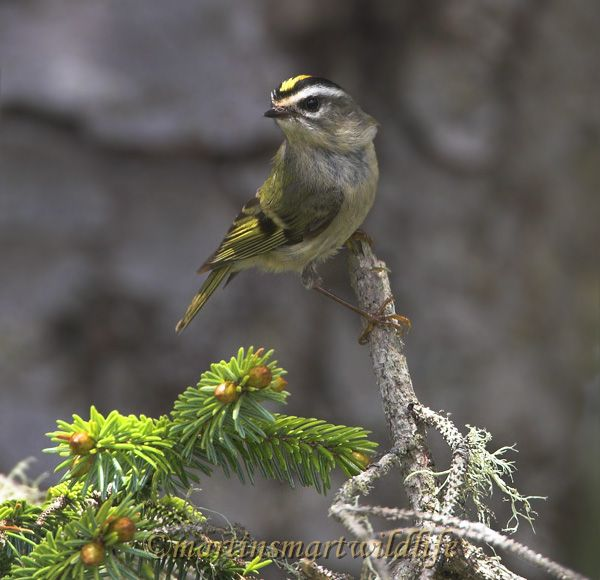Golden-crowned_Kinglet_5714x.jpg