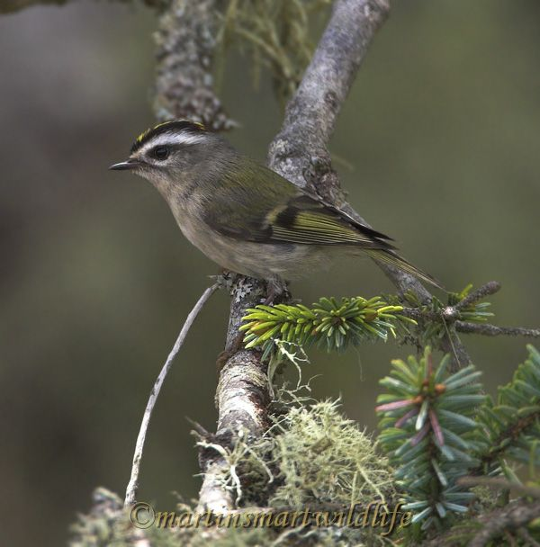 Golden-crowned_Kinglet_5720x.jpg