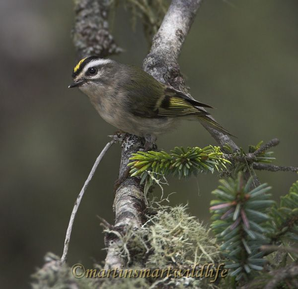 Golden-crowned_Kinglet_5723x.jpg