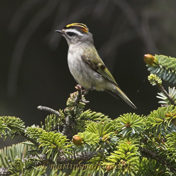 Golden-crowned_Kinglet_5732x.jpg