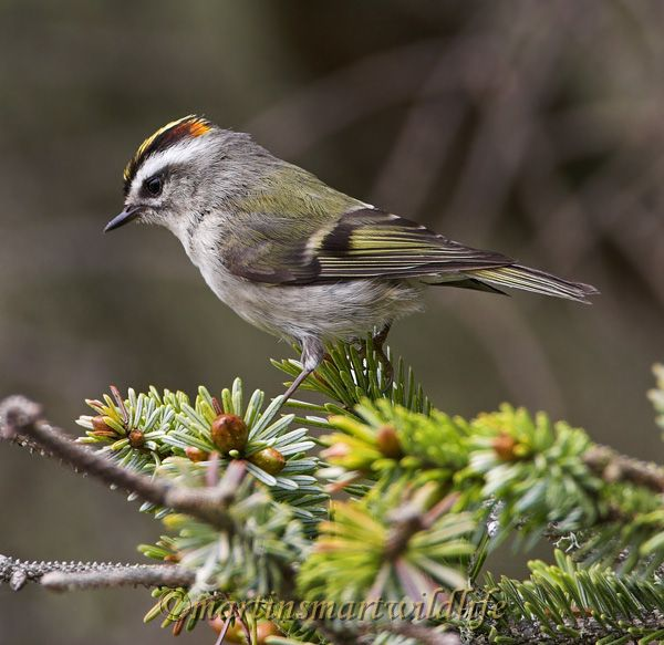 Golden-crowned_Kinglet_5757x.jpg